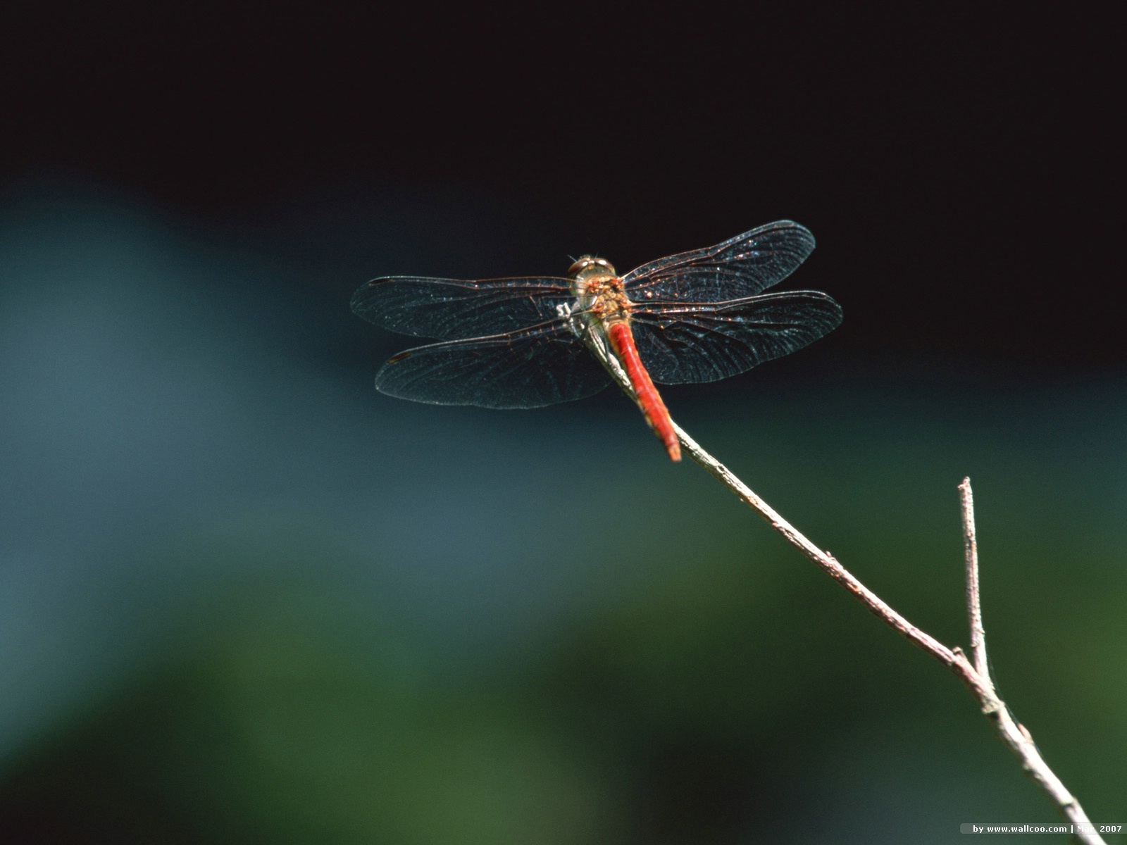 Dragonfly Wallpaper EA55114jpg