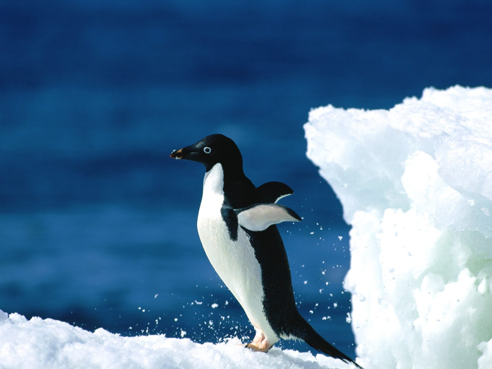 ???? --- ??????1600*1200 High resolution penguin wallpapers3