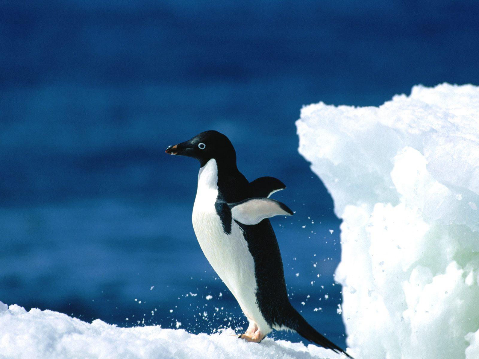 cute Penguin Love Wallpaper : ???? --- ??????1600*1200 High resolution penguin wallpapers3