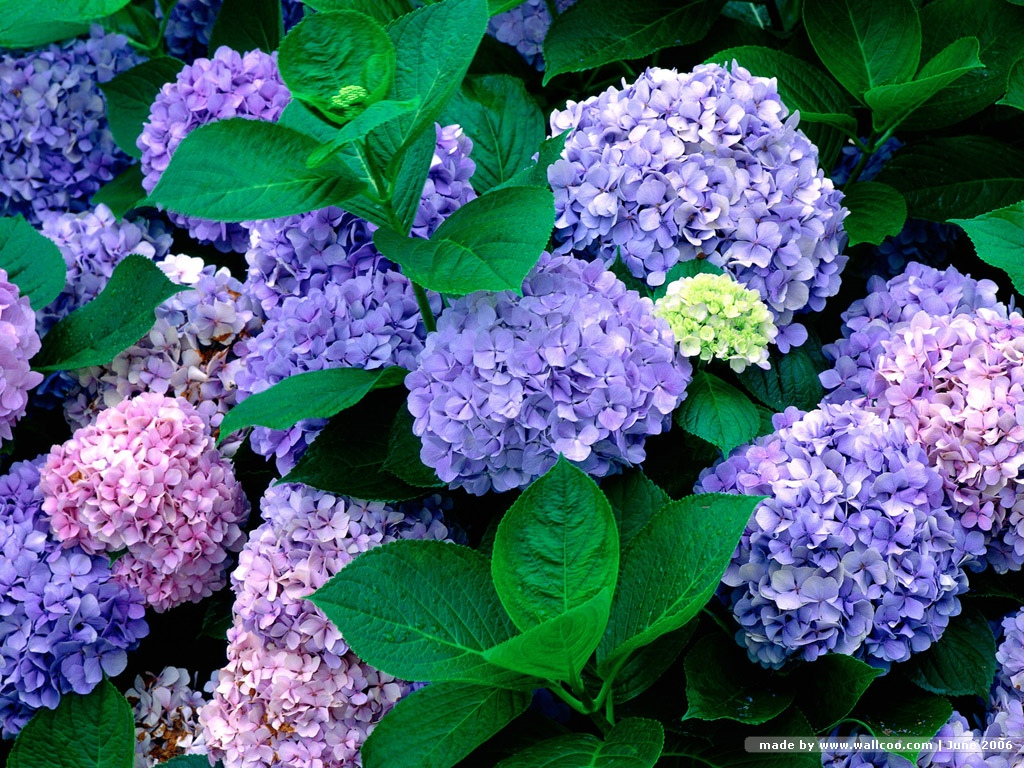 pics photos blue hydrangea flowers wallpapers