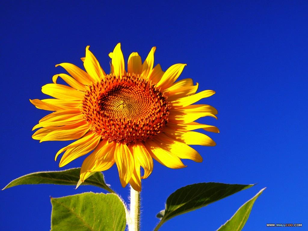葵花 向日葵 向日葵種子 向日葵花 向日葵花籽 葵花籽 葵花子 向日葵子 向日葵種子採收 向日葵_插圖